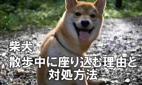 柴犬座り込みアイキャッチ画像